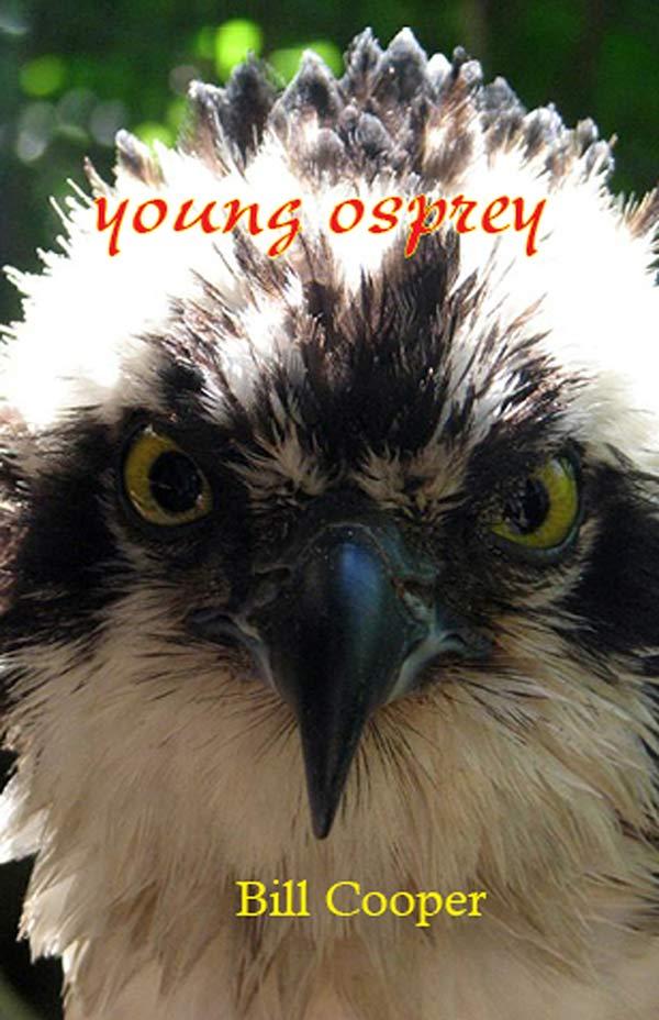 Young Osprey, Haiku By Bill Cooper